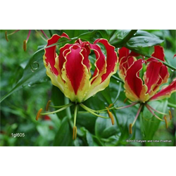 Gloriosa rothschildiana (3 bulbs per pkg - Ships March thru June)