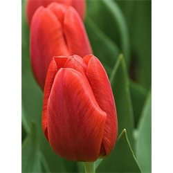 Tulip Triumph Pallada (10 bulbs per pkg - Ships Oct thru Jan)
