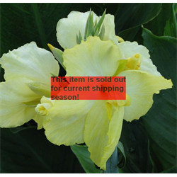 Cannas bulbs canna flower bulbs for sale terra ceia farms canna dwarf yellow futurity 5 bulbs per pkg ships march thru june mightylinksfo