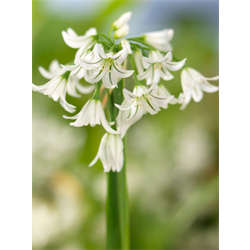 Allium triquetrum (25 bulbs per pkg - ships Oct thru Jan)