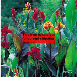 Canna bulk Giant Mixed (½ BU - Ships March thru June)