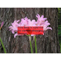 Lycoris squamigera (3 bulbs per pkg - Ships Oct thru June)
