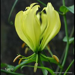 Gloriosa greenei (3 bulbs per pkg - Ships March thru June)