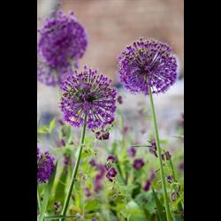 Allium a. Purple Sensation (10 bulbs per pkg - ships Oct thru Jan)