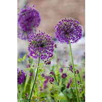 Allium a. Purple Sensation (10 bulbs per pkg - ships Oct thru Jan)
