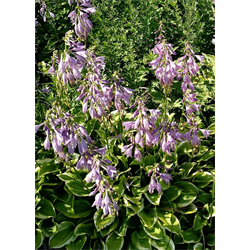 Hosta bulk Variegated Leaf  (½ BU - Ships Oct thru June)