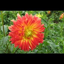 100 flower bulbs for sale online dutch iris bulbs for sale