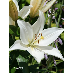 Lily Asiatic White (5 bulbs per pkg - Ships Oct thru June)