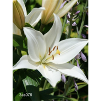 Lily bulk Asiatic White  (½ BU - Ships Oct thru June)