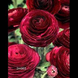 Ranunculus Purple (10 bulbs per pkg - Ships Oct thru June)