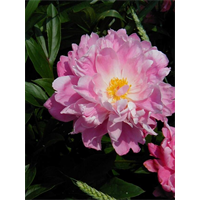 Peony J Red (3 bulbs per pkg - Ships Oct thru Jan)