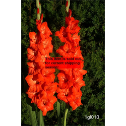 *SOLD OUT* Gladiolus bulk Red (½ BU - Ships March thru June)