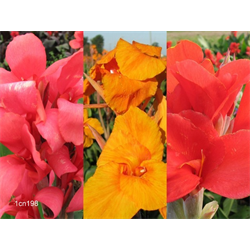 Canna Giant Collection (15 plants per collection - Ships March t