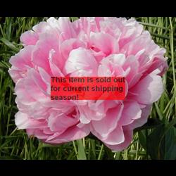 *SOLD OUT* Peony Clump Sarah Bernhardt (Ships Oct thru Jan)