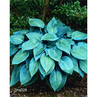 Hosta 'Halcyon' (5 plants per pkg - Ships Oct thru June)