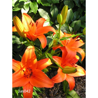 Lily Asiatic Orange (5 bulbs per pkg - Ships Oct thru June)