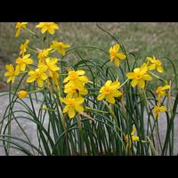 Daffodil Jonquilla Baby Moon (10 bulbs per pkg - Ships Oct thru Jan)