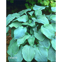 Hosta sieboldiana 'Elegans' (5 plants per pkg - Ships Oct thru June)