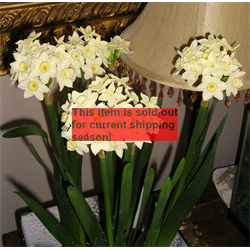 Narcissus Paperwhite Nony (10 bulbs per pkg - Ships Oct thru Jan)