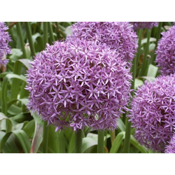 Allium Globemaster (3 bulbs per pkg - ships Oct thru Jan)
