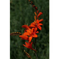 Crocosmia Orange Lucifer (10 bulbs per pkg - Ships march thru June)