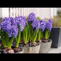 Hyacinth Delft Blue (5 bulbs per pkg - Ships Oct thru Jan)