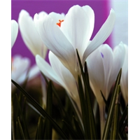 Crocus vernus Jeanne De Arc (25 bulbs per pkg - Ships Oct thru Jan)