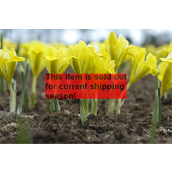 *SOLD OUT* Dwarf Iris danfordiae (25 bulbs per pkg - Ships Oct thru Jan)