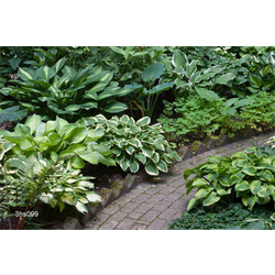 *FALL 2020* Hosta Mixed (5 plants per pkg - Ships Oct thru June)
