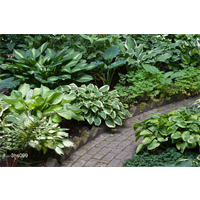 Hosta bulk Mixed  (½ BU - Ships Oct thru June)