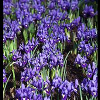 Dwarf Iris reticulata 'Pixie' (25 bulbs per pkg - Ships Oct thru Jan)