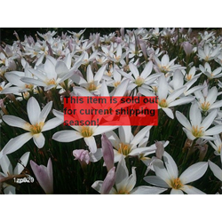 *SOLD OUT* Zephyranthes candida (25 bulbs per pkg - Ships March thru June)