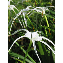 Hymenocallis littoralis (3 bulbs per pkg - Ships March thru June)