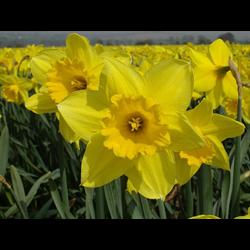 Daffodil Lg. Cup Carlton (10 bulbs per pkg - Ships Oct thru Jan)