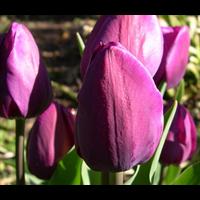 Tulip Triumph Negrita (10 bulbs per pkg - Ships Oct thru Jan)