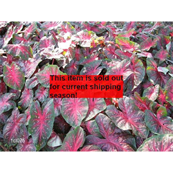 *SOLD OUT* Caladium Red Flash (5 bulbs per pkg - Ships March thru June)