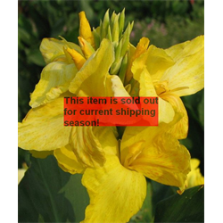 *SOLD OUT* Canna bulk Giant Yellow (½BU - Ships March thru June)