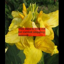 Canna bulk Giant Yellow (½BU - Ships March thru June)