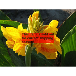 Canna Dwarf Picasso (5 bulbs per pkg - Ships March thru June)