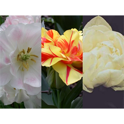 Tulip Double Peony Collection (60 bulbs per collection - Ships Oct thru Jan)