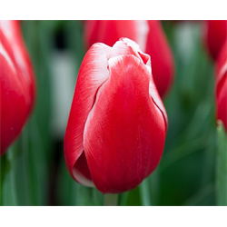 Tulip Triumph Kung Fu (10 bulbs per pkg - Ships Oct thru Jan)
