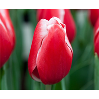 Tulip Triumph Kung Fu (10 bulbs per pkg - Ships Oct thru Jan)