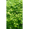 Additional images for *FALL 2020* Oxalis regnellii (10 bulbs per pkg - Ships Oct thru June)
