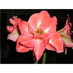 Amaryllis Jumbo Potted Bulb Kit - Lady Jane (ships Nov thru Jan)