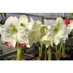 Amaryllis Jumbo Potted Bulb Kit - Mont Blanc (ships Nov thru Jan)