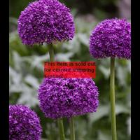 *SOLD OUT* Allium Ambassador (3 bulbs per pkg - ships Oct thru Jan)