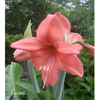 Amaryllis Jumbo Potted Kit - Rilona (ships Nov thru Jan)