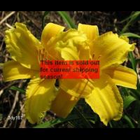 Daylily clump Mary Todd (Ships Oct thru June)