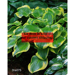 *FALL 2020* Hosta 'Wide Brim'  (5 plants per pkg - Ships Oct thru June)