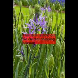 *SOLD OUT* Camassia cusickii (3 bulbs per pkg - Ship Oct thru Jan)